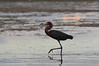 Reddish Egret hunting the tidal mud flats of Florida Bay