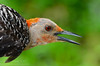 Red-bellied Woodpecker (<i>Melanerpes carolinus</i>) Key Largo, Florida