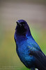 Boat-tailed Grackle (<i>Quiscalus major</i>), male