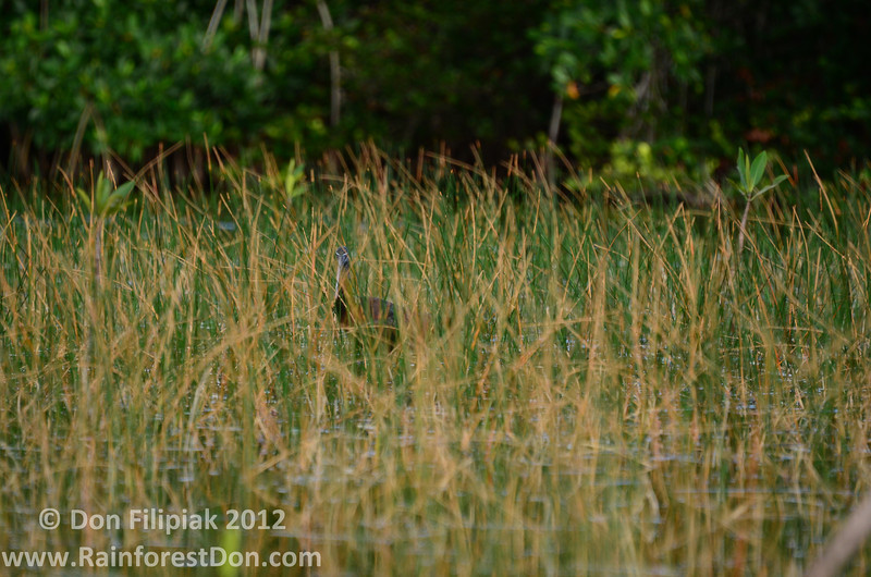 Glossy Ibis (<i>Plegadis falcinellus</i>) hiding in the reeds