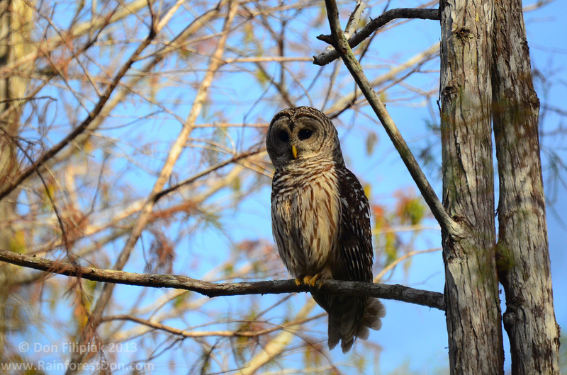 Barred Owl (<i>Strix varia</i>) in a cypress dome in Everglades National Park, Florida.