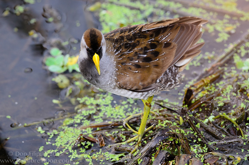 A diminutive member of the rail family, the Sora (<i>Porzana carolina</i>)