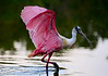 Who doesn't love a pink bird?! Roseate Spoonbill (<i>Platalea ajaja</i>) from the southern tip of the Florida mainland.