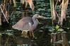 Tricolored Heron (<i>Egretta tricolor</i>)