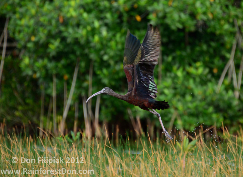 In this area of the Everglades the Glossy Ibis (<i>Plegadis falcinellus</i>) is far more secretive than its relative the White Ibis. It can been seen here trying to escape from my oncoming kayak.