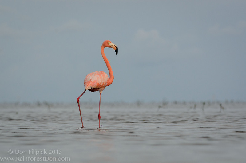 American Flamingo in the Florida Everglades<br /> July 2013
