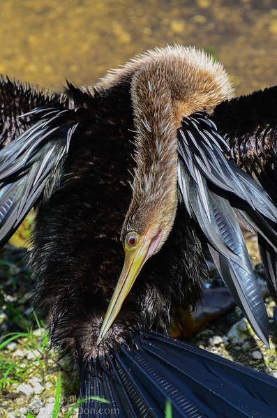 Anhinga (<i>Anhinga anhinga</i>) Everglades National Park, Florida