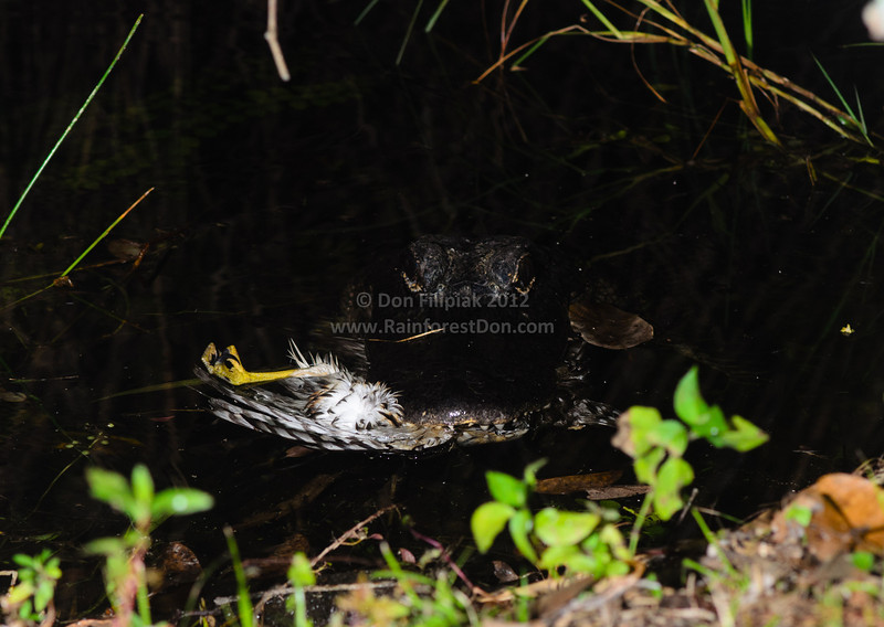 This American Alligator (<i>Alligator mississippiensis</i>) was seen eating a hawk (probably a Red-shouldered Hawk) along the bank of a waterway in Everglades National Park, Florida.