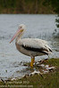 American White Pelican (<i>Pelecanus erythrorhynchos</i>)