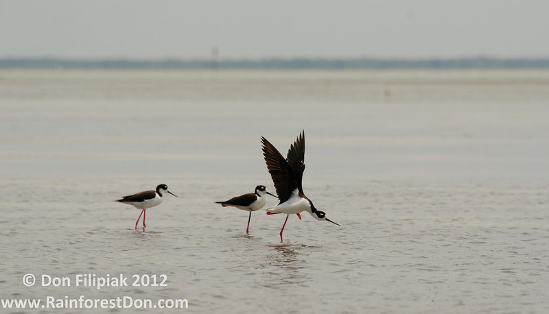 Black-necked Stilts (<i>Himantopus mexicanus</i>) dancing on the Florida Bay