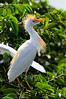 Cattle Egret (<i>Bubulcus ibis</i>) Wakodahatchee Wetlands, Florida July 2013