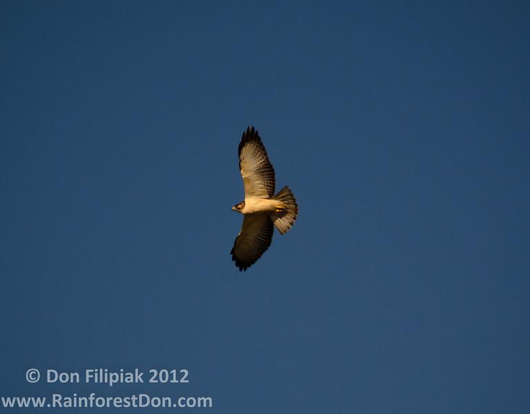 Short-tailed Hawk (<i>Buteo brachyurus</i>) Light phase, soaring