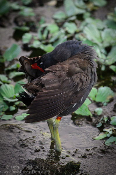 Common Gallinule (<i>Gallinula galeata</i>), formally called the Common Moorhen Delray, Florida July 2013