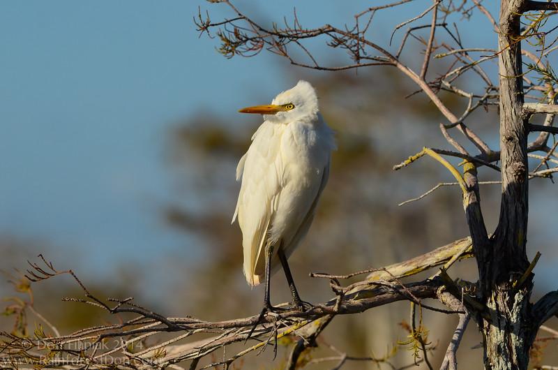 Cattle Egret ( Bubulcus ibis)