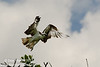 """Off to the fish market"" Osprey (<i>Pandion haliaetus</i>) taking flight over Florida Bay"