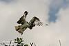 """""""Off to the fish market"""" Osprey (<i>Pandion haliaetus</i>) taking flight over Florida Bay"""