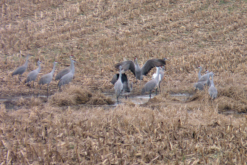 Two of the Sandhill Cranes put on a show; aggression or courtship?