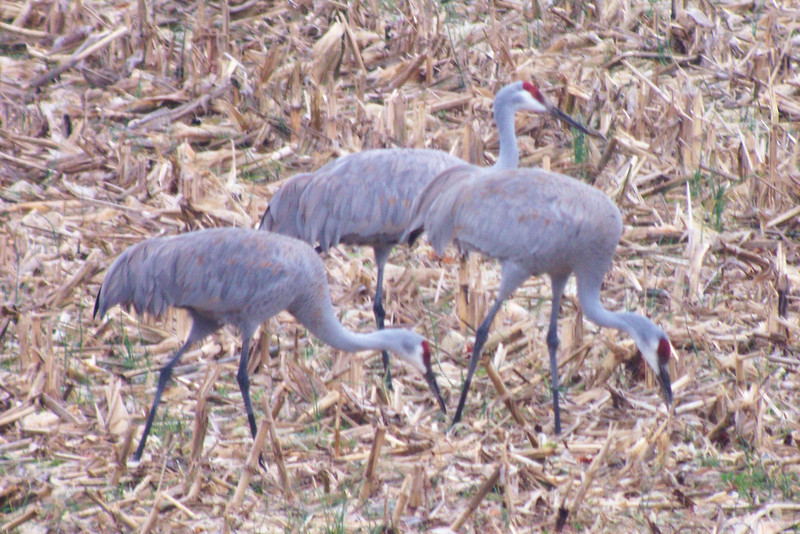 Sandhill Cranes - digiscoped.  Even with the camera mounted to the scope the light was just too bad to get a sharp photo.