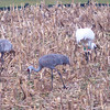 Whooping Crane and Sandhill Cranes