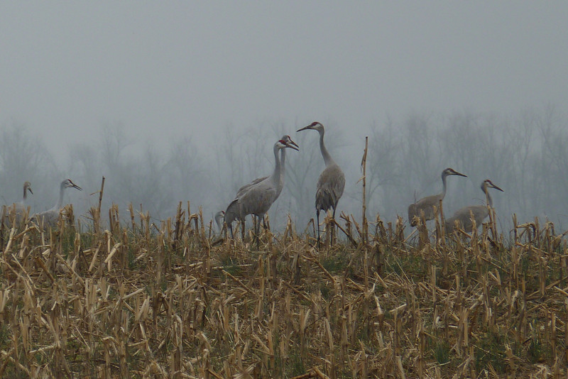 The rain on the plain stays mainly on the cranes.