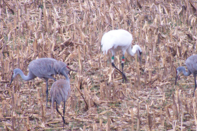 Whooping Crane with some of his Sandhill buddies.
