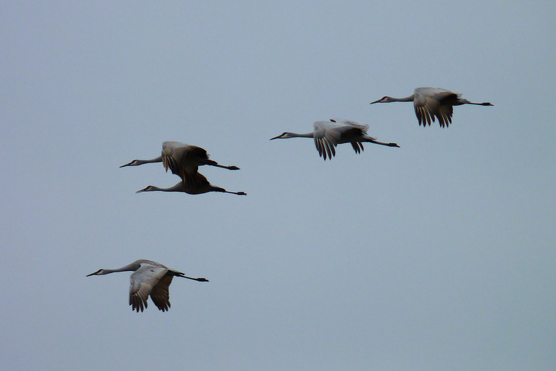 We had several nice views of the Sandhill Cranes as they flew overhead.