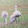 Our only halfway-decent digiscoped photo of a Sandhill Crane family group.