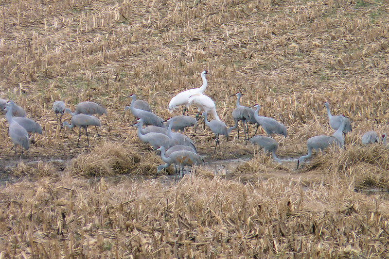 February 4th, 2012 - we head to the cornfields around Cecilia, Kentucky in search of Sandhill Cranes, and are flabbergasted when we spy two Whooping Cranes among them (they're a little hard to miss)!