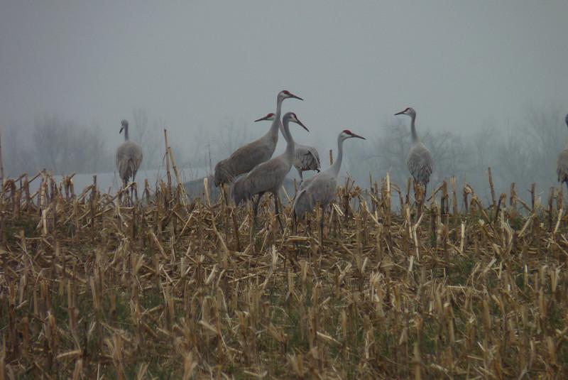 Sandhill Cranes in the rain