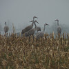 Sandhill Cranes in the rain