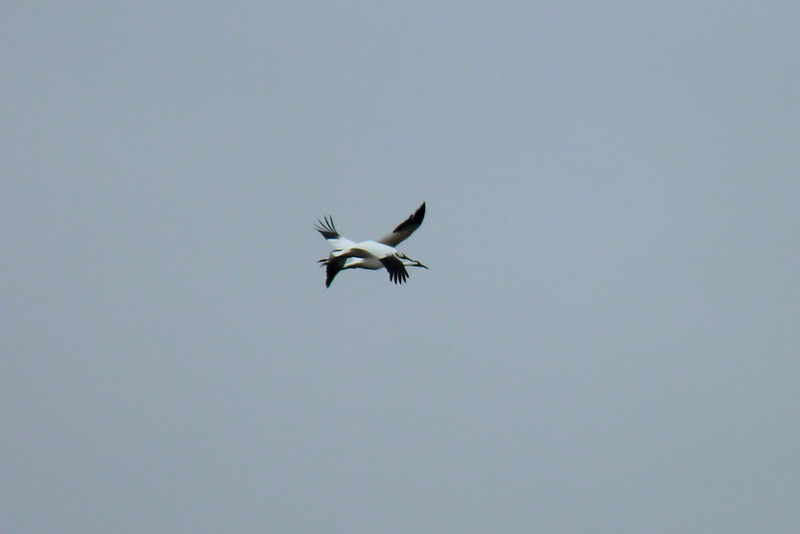 Finally, after letting us enjoy their presence for a nice long time, the Whooping Cranes departed together.
