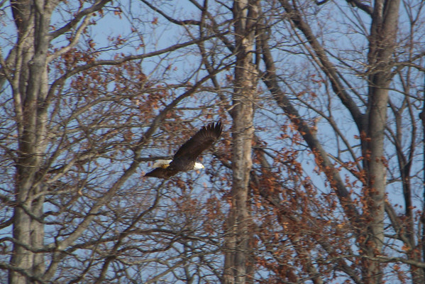 Bald Eagle flying along the lakeshore