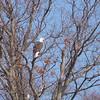 Bald Eagle on the shore of Kentucky Lake
