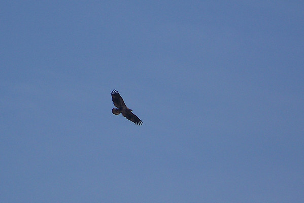 Next up is an immature Bald Eagle, a rarity for the day.  This year we saw many more fully adult eagles.