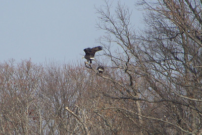The Eagle has landed!  This is, presumably, a mated pair.  I think the naturalists told us that there are just under 20 nesting pairs at Land Between the Lakes.
