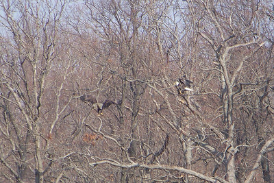 A second pair of Bald Eagles hanging out together.