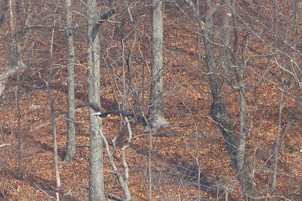 Our main eagle watching is from the shore of a luxury yacht on Kentucky Lake.  We caught this lovely Bald Eagle in flight.