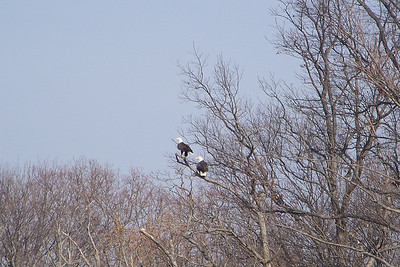 Pair of Bald Eagles