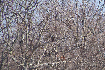 In the latest count, around 180 Bald Eagles were counted wintering at Land Between the Lakes.  It's a great place for a winter Eagle Watch!