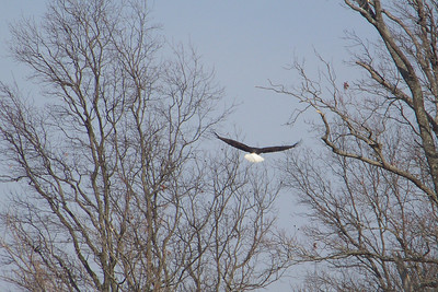 We get a nice look at this Bald Eagle's gleaming white tail.