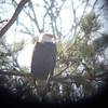 Badly digiscoped Bald Eagle at Fort Donelson National Battlefield (Tennessee).  January 14, 2012