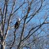 Bald Eagle - Kentucky Lake