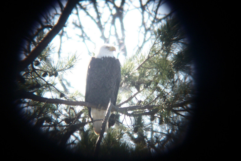 Our Bald Eagle watch got off to an earnest start in Fort Donelson National Battlefield (Tennessee) where there is a nesting pair.  January 14, 2012