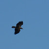 Immature Bald Eagle in flight over Kentucky Lake.  We saw surprisingly few immature birds this year.