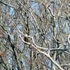 Bald Eagle on Kentucky Lake