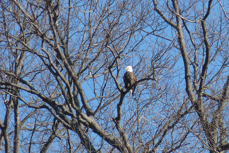 January 15th saw us cruising Kentucky Lake in search of wintering Bald Eagles.
