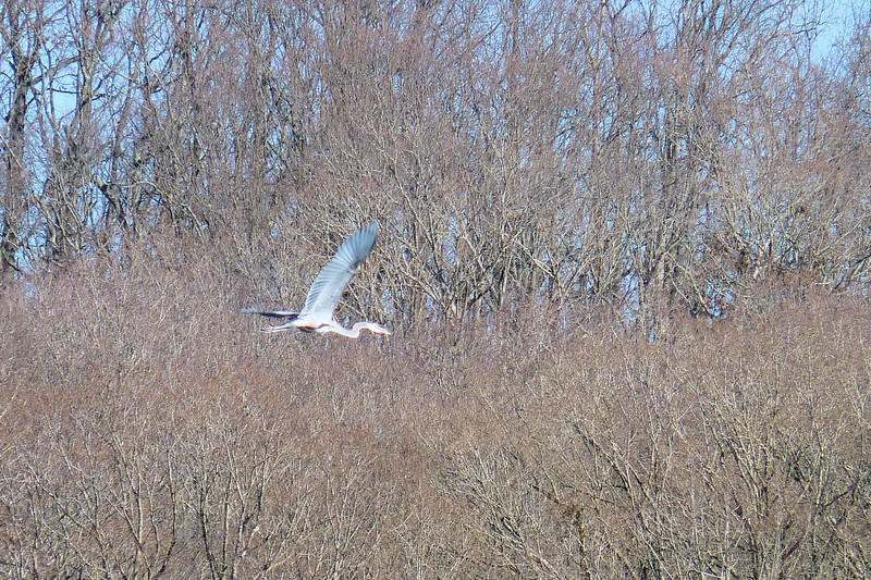 Great Blue Heron in flight - Kentucky Lake