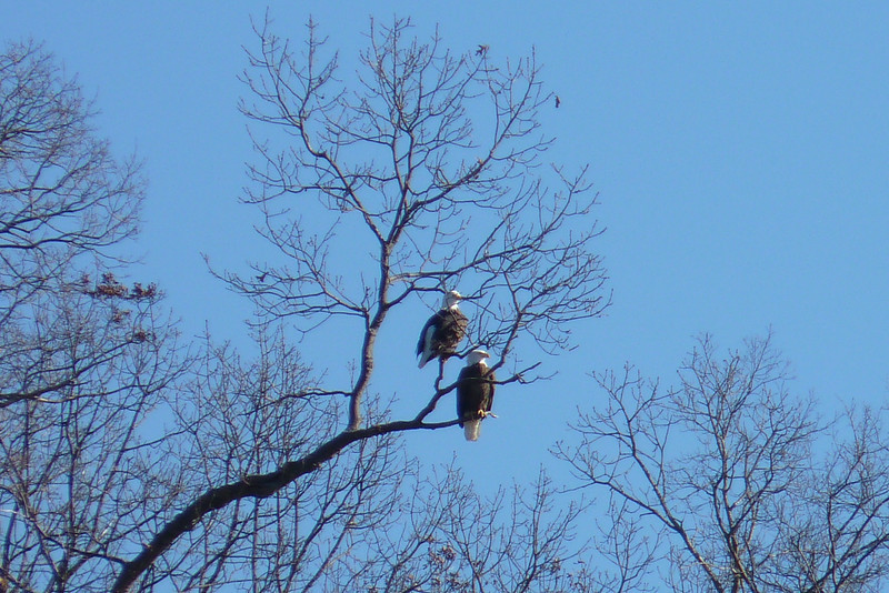 It's always nice to see a pair of Bald Eagles together.