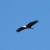 Bald Eagle in flight over Kentucky Lake