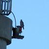 Peregrine Falcon - Kentucky Lake